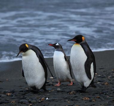 800px-Penguins_walking_-Moltke_Harbour,_South_Georgia,_British_overseas_territory,_UK-8