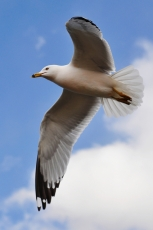 seagull_in_flight_by_jiyang_chen